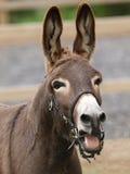 Het lachen ezel Stock Foto