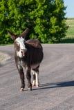 Het lachen ezel royalty-vrije stock foto's