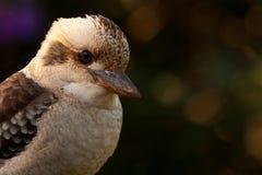Het lachen het portret van de Kookaburra Royalty-vrije Stock Afbeeldingen