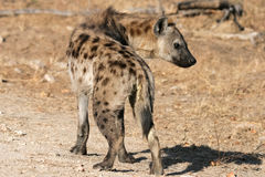 Het lachen Hyena Royalty-vrije Stock Fotografie