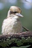 Het lachen Kookaburra Royalty-vrije Stock Afbeeldingen