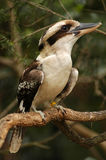Het lachen Kookaburra Stock Fotografie
