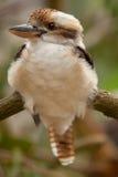 Het lachen Kookaburra Stock Afbeelding