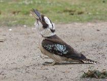 Het lachen Kookaburra Royalty-vrije Stock Fotografie