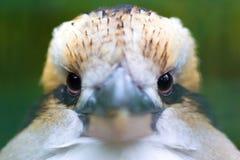 Het lachen Kookaburra (Dacelo-novaeguineae) Stock Fotografie