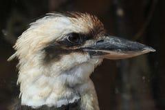 Het lachen kookaburra (novaeguineae Dacelo) Stock Foto's