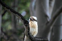 Het lachen Kookaburra's royalty-vrije stock afbeeldingen