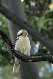 Het lachen Kookaburra's stock foto's