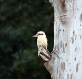Het lachen Kookaburra's stock afbeeldingen