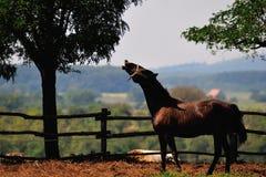 Het lachen paard Royalty-vrije Stock Afbeelding