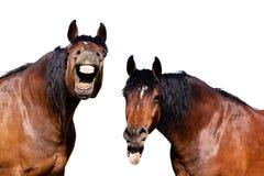 Het lachen paarden Stock Foto
