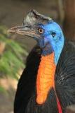 Het lachen vogelkasuaris Stock Foto
