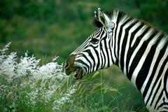 Het lachen zebra Stock Afbeeldingen