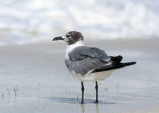 Het lachen Zeemeeuw die zich op nat zand bevinden Royalty-vrije Stock Foto's