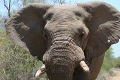 Het laden olifant Stock Foto