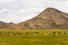 Het Lam die van geitenschapen Mongoolse Steppe weiden stock afbeeldingen