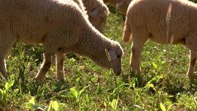 Het lam eet gras stock footage