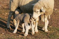 Het Lam en de Ooi van schapen stock fotografie