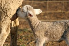 Het Lam en de Ooi van schapen royalty-vrije stock fotografie