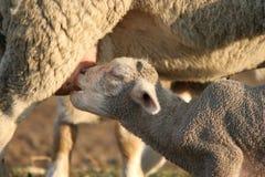 Het Lam en de Ooi van schapen royalty-vrije stock afbeeldingen