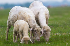Het lam en twee schapen zijn weiden Royalty-vrije Stock Foto's