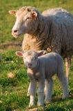 Het lam van de baby met de moeder Royalty-vrije Stock Afbeeldingen
