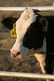 Het lam van de koe in vroege ochtendzon Stock Afbeeldingen