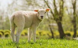 Het lam van de lente Royalty-vrije Stock Afbeeldingen
