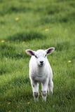 Het Lam van de lente Royalty-vrije Stock Foto's
