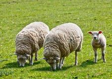 Het lam van het veeschapen van het landbouwbedrijf Stock Foto's