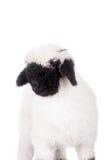 Het lam van Valais op Wit Royalty-vrije Stock Foto
