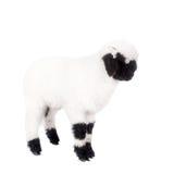 Het lam van Valais op Wit Stock Foto