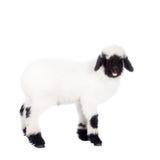 Het lam van Valais op Wit Stock Foto's