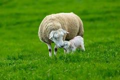 Het lammeren tijd, Texel-Ooi met pasgeboren lam royalty-vrije stock afbeeldingen
