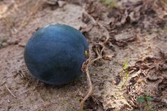 Het lanatus groeien van watermeloencitrullus in de moestuin stock foto