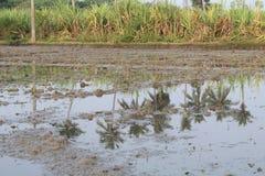 Het land van de dorpslandbouwer met suikerriet en kokospalm stock foto's