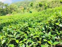 Het land van de Naturelthee van Sri Lanka royalty-vrije stock afbeelding