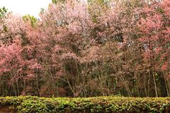 Het land van kers komt in Khun Mae Ya Watershed Management Unit Mae Hong Son Thailand tot bloei royalty-vrije stock afbeelding