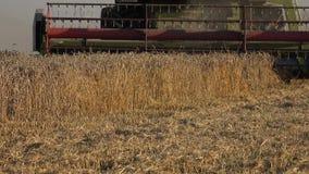 Het landbouwbedrijf combineert oren en stro van de besnoeiings het de rijpe tarwe met stofdaling van rug 4K stock videobeelden