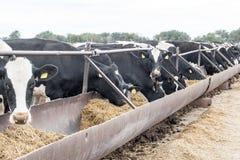 Het landbouwbedrijf van het Argevee Het landbouwbedrijf van de staat levert melk en vlees aan het volledige gebied van Volgograd Stock Fotografie