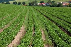 Het landbouwbedrijf van de aardappel royalty-vrije stock foto