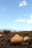 Het landbouwbedrijf van de aardappel op het gebied Stock Fotografie