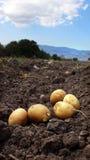 Het landbouwbedrijf van de aardappel op het gebied Royalty-vrije Stock Afbeeldingen