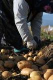 Het landbouwbedrijf van de aardappel op het gebied Stock Afbeeldingen