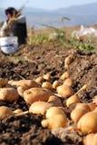 Het landbouwbedrijf van de aardappel op het gebied Royalty-vrije Stock Foto's