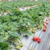 Het landbouwbedrijf van de aardbei. Stock Fotografie