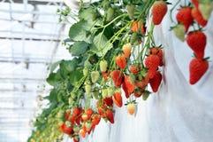 Het Landbouwbedrijf van de aardbei Royalty-vrije Stock Fotografie