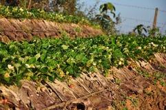 Het landbouwbedrijf van de aardbei stock fotografie