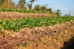 Het landbouwbedrijf van de aardbei royalty-vrije stock afbeelding
