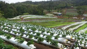 Het landbouwbedrijf van de aardbei Stock Foto's